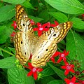 Butterfly And Red Star Sprig by Caroline  Urbania Naeem