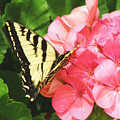 Butterfly And The Geranium by Debby Pueschel