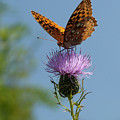 Butterfly And Thistle 1 by Art Ferrier