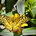 Butterfly At Rest by Bill Barber