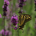 Butterfly Balancing Act by Jeff Swan
