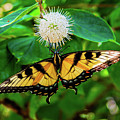 Butterfly Beauty by Cynthia Frohlich