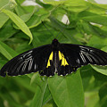 Butterfly Black And Yellow by Jann Denlinger
