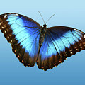 Blue Morpho Beauty by Jann Denlinger