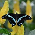 Butterfly Blue Striped by Jann Denlinger