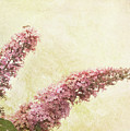Butterfly Bush by Margaret Hormann Bfa