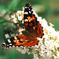 Butterfly Bush by Paul  Trunk