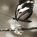 Butterfly Close-up by Tomas del Amo - Printscapes