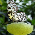 Butterfly Cocktail Time by Diane Goulart