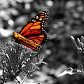 Butterfly Color On Black And White by Paul Wilford