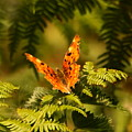 Butterfly Comma by Jeff Townsend