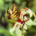 Butterfly Daylily by Francesa Miller