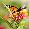 Butterfly by Debbie Evans
