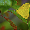 Butterfly by Dennis Goodman