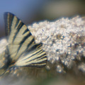 Butterfly Dream by Jennifer McDuffie