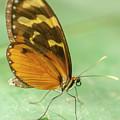 Butterfly Eueides Isabella by Heiko Koehrer-Wagner