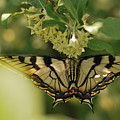Butterfly From Another Side by Susan Capuano