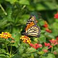 Butterfly Garden by Ann Keisling