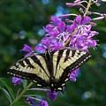 Butterfly by Gene Ritchhart