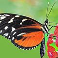 Butterfly  Golden Helicon by Regina Geoghan