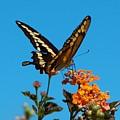 Butterfly II by Susan Heller