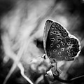 Butterfly In Black And White by Mirko Chessari