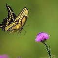 Butterfly In Flight by Monica Hall