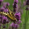 Butterfly In Lavender by Jeff Swan