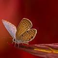 Butterfly In Red by John Greene