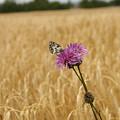 Butterfly In Wheat Field by Jessica Rose