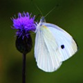 Butterfly In White by John Feiser