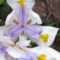 Butterfly Iris by Miss McLean