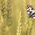 Butterfly by Jana Behr