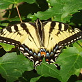 Butterfly by Julaine DeJong