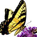 Butterfly by Julie Niemela