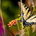 Butterfly Jungle by Ches Black