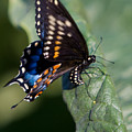 Butterfly Laying Eggs by Chris Lord