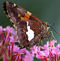 Butterfly-licking by Curtis J Neeley Jr