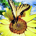 Butterfly Meets Sunflower by Linda M Gardner