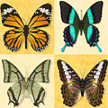 Four Butterfly Montage by Melissa A Benson