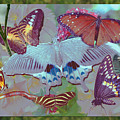 Butterfly Montage by Richard Nickson