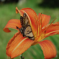 Butterfly On A Blooming Orange Daylily Flower Blossom by DejaVu Designs