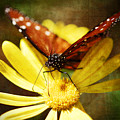 Butterfly On A Daisy  by Saija  Lehtonen