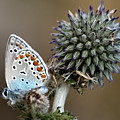 butterfly on a Echinops adenocaulon by Nahum Budin