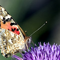 butterfly on a Silybum marianum I by Nahum Budin