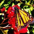 Butterfly On Bougainvillea by Daniele Smith