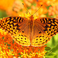 Butterfly On Butterfly Weed by Doris Dumrauf