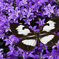 Butterfly On Campanula Get Mee by Garry Gay