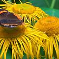 Butterfly On Chrysanthemum Flowers by Jeelan Clark