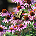 Butterfly On Coneflowers by Trina Ansel